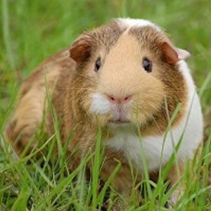 Guinea Pig Cages 236